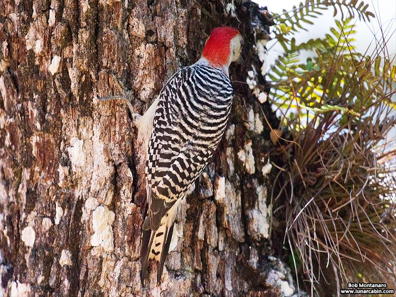 redbellied_woodpecker_160519_8