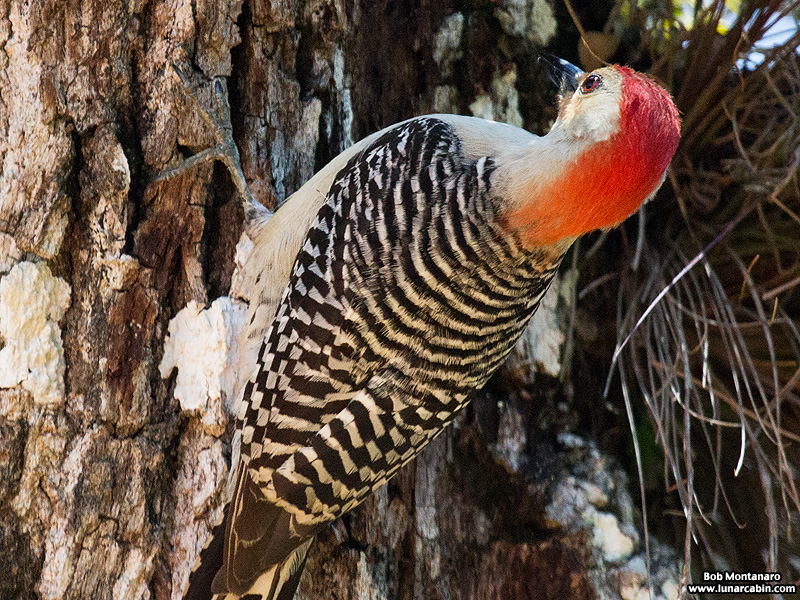 redbellied_woodpecker_160519_9