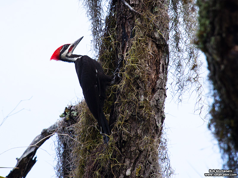 pileated_woodpeckers_160617_5