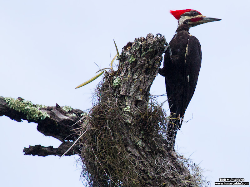 pileated_woodpeckers_160617_6