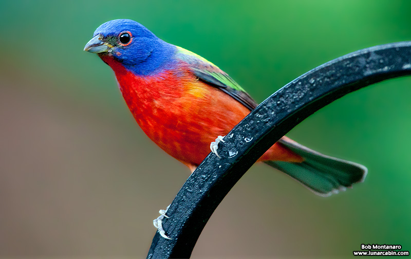 painted_buntings_120317_5