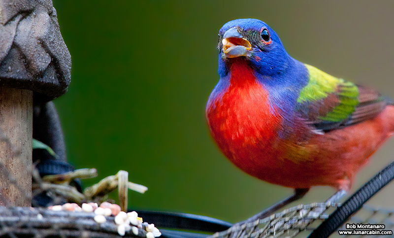 painted_buntings_120317_7