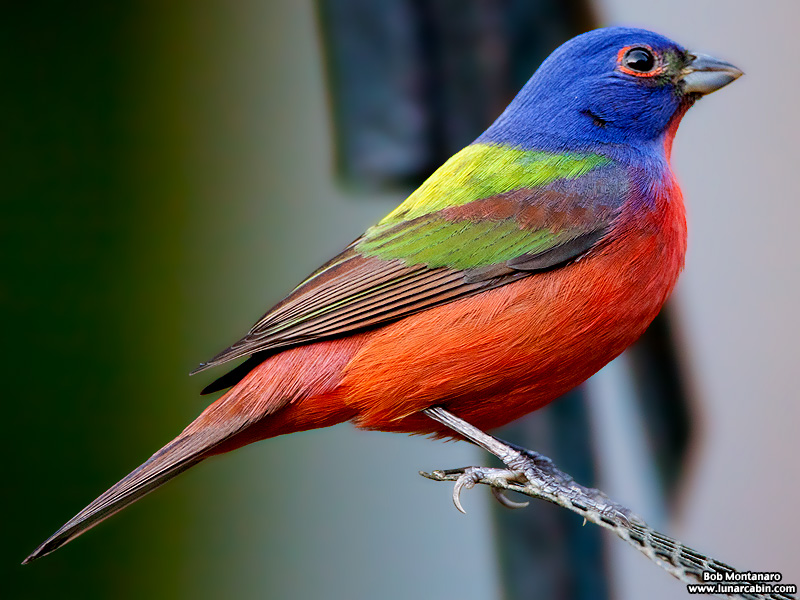 painted_buntings_120317_9