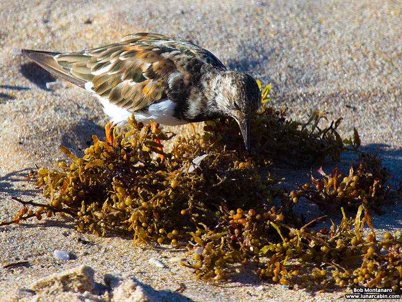 tired_turnstone_160917_1