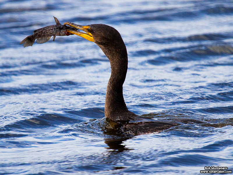 lake_apopka_cormorant_161015_3
