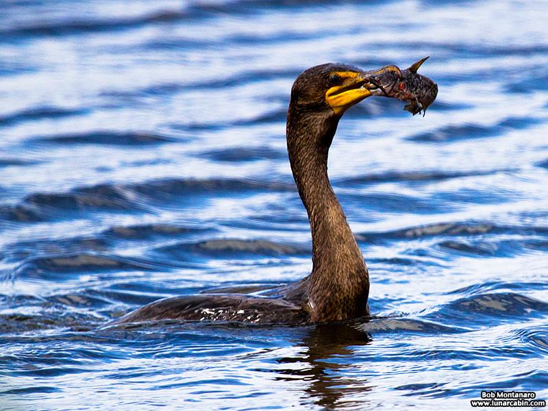 lake_apopka_cormorant_161015_4