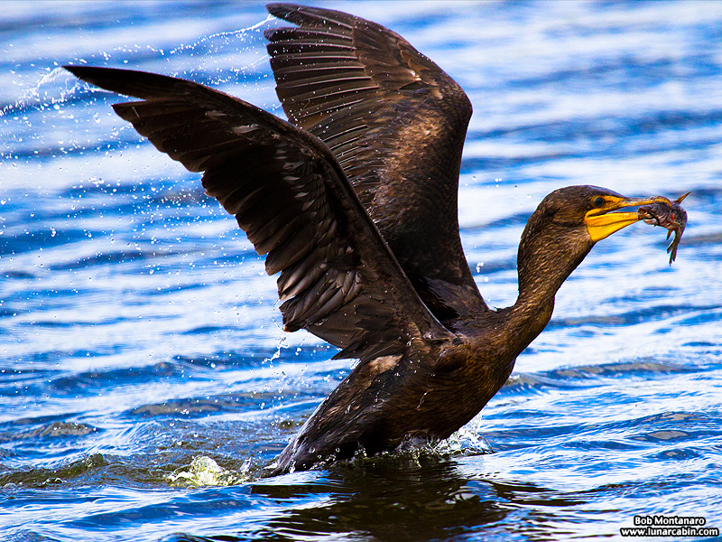 lake_apopka_cormorant_161015_5