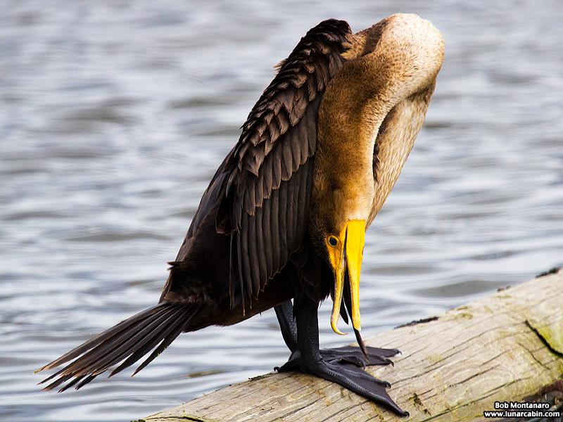lake_apopka_cormorant_161015_7