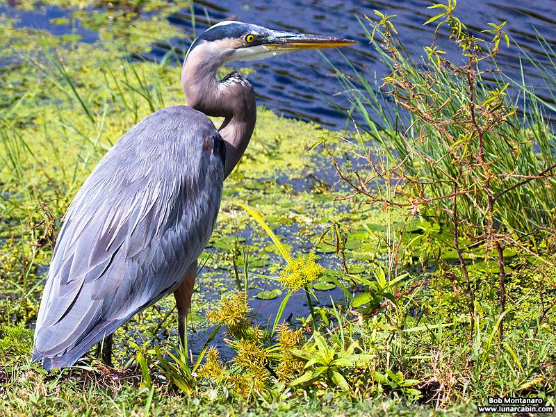 lake_apopka_great_blue_heron_161015_2