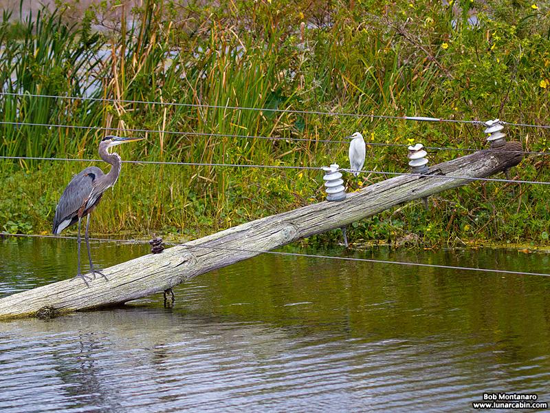 lake_apopka_great_blue_heron_161015_3