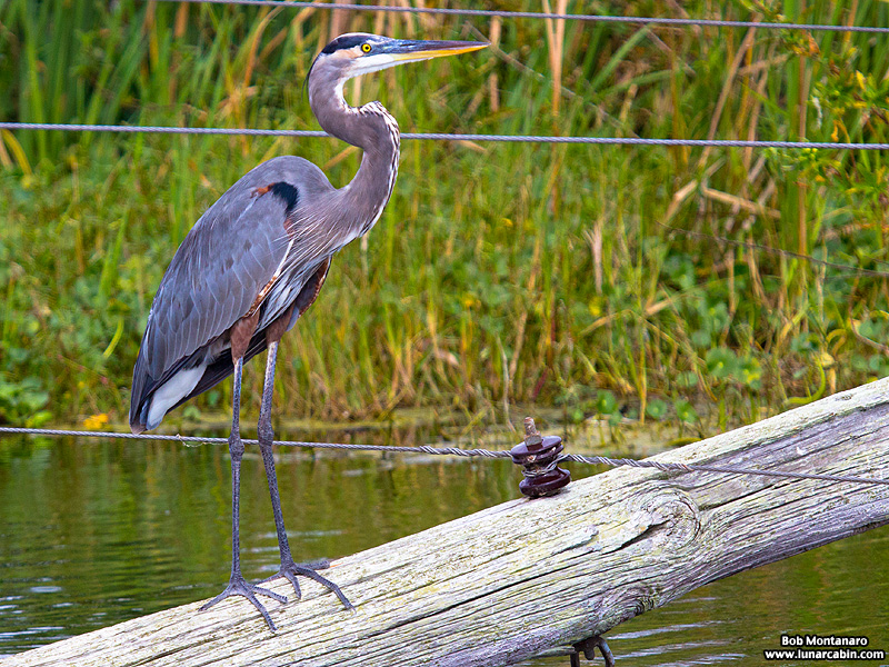 lake_apopka_great_blue_heron_161015_4