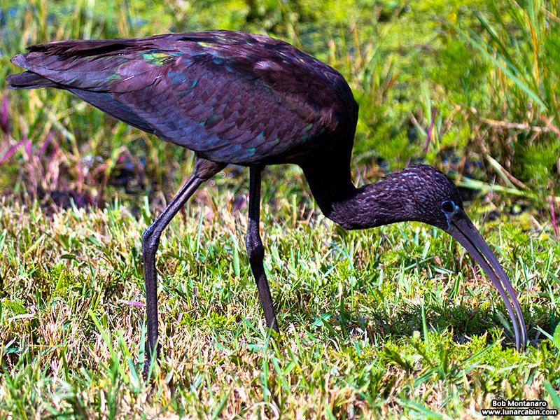 lake_apopka_glossy_ibis_161015_4