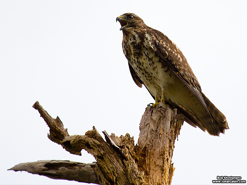 lake_apopka_redshouldered_hawk_161015_2