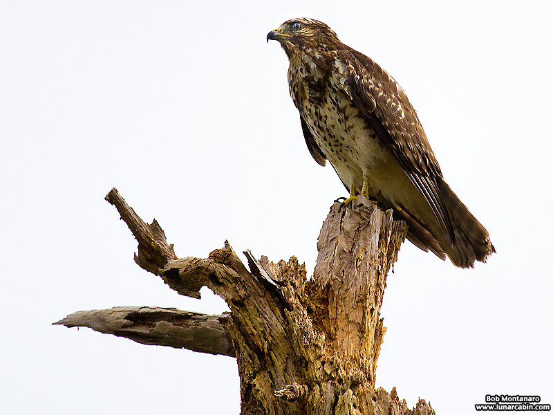 lake_apopka_redshouldered_hawk_161015_3