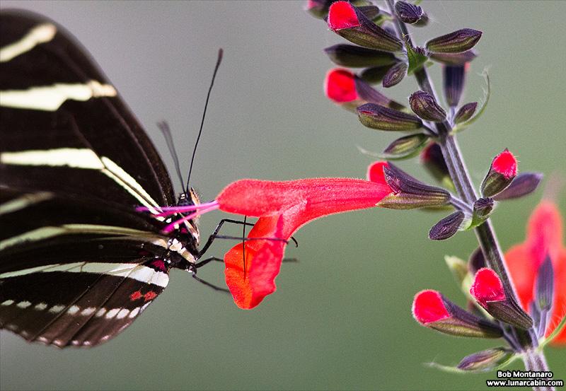 zebra_longwing_170117_3